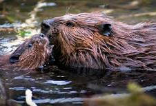 Beavers in the lake