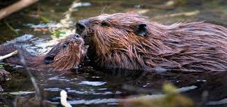 Beavers in the lake