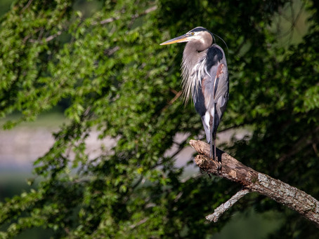 A Sign fromAbove: The Message from the Great BlueHeron