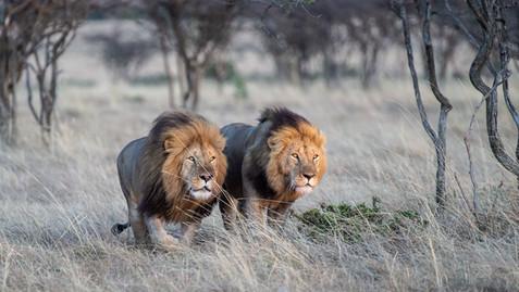 The Brothers in the wild.... Olerai & Olekiti
