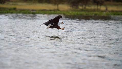 Fish eagle locked on target