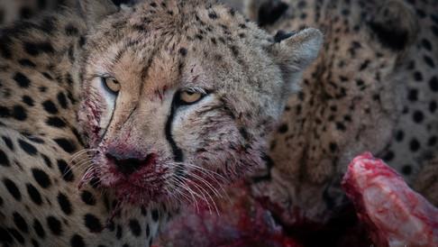 Cheetahs of Mara