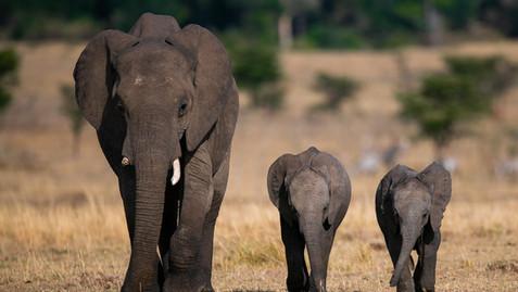 Majestic Elephants