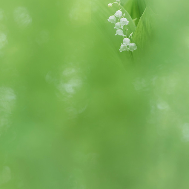 О цвете ландыша