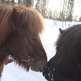 icelandic horses kissing