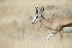 Springbock - Namibia Travel