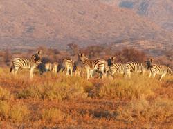Zebras Namibia Travel