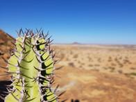 Kaktus in der Wüste von Namibia