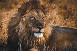 Löwe - Namibia Travel