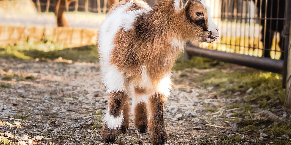 Goat Care Class