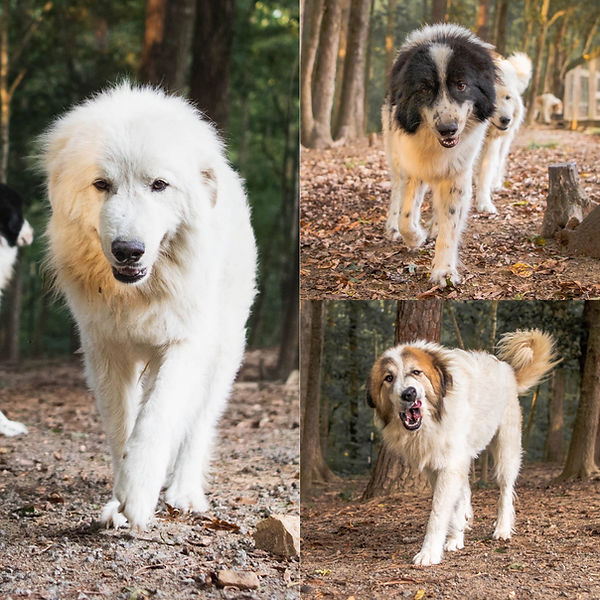 Livestock Dogs