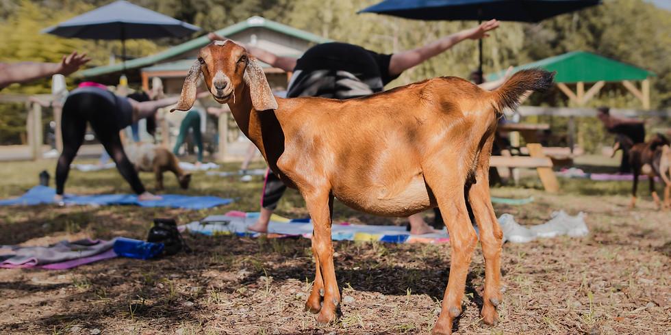 Baby Goats + Yoga + Mimosas