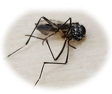 Zapped mosquito.jpg