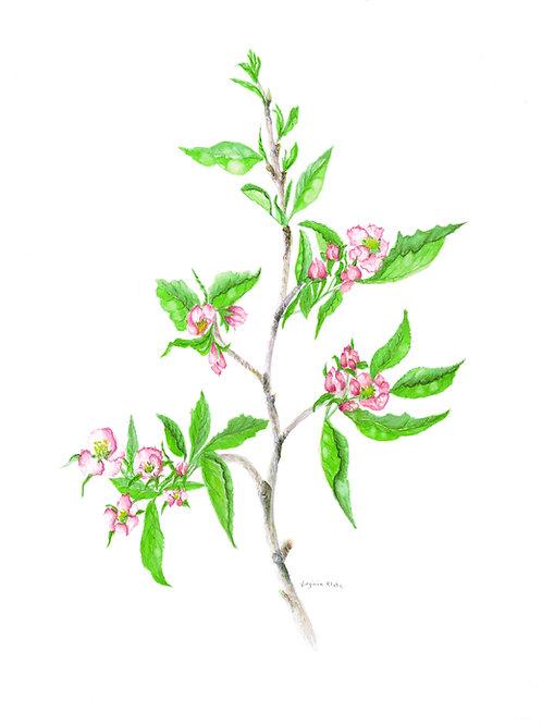 Granny Smith Apple Branch