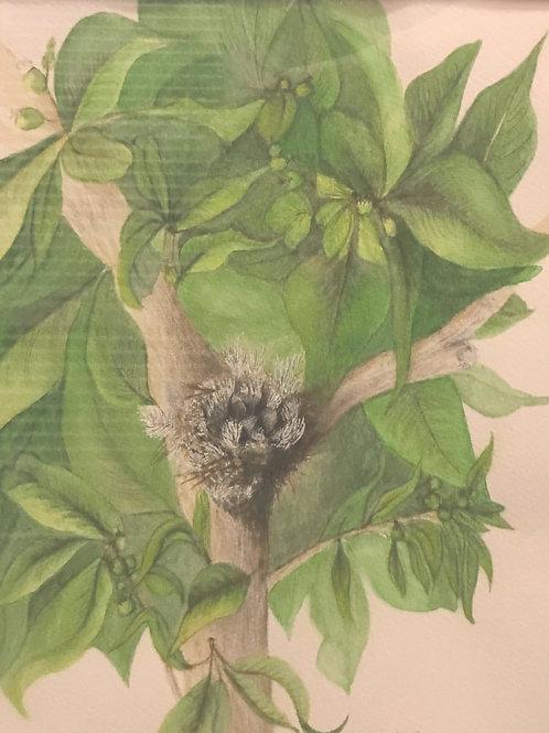 Hummingbird Nest in a Guava Tree.