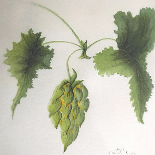 Hops, with Hop , ready to harvest, 2 leaves