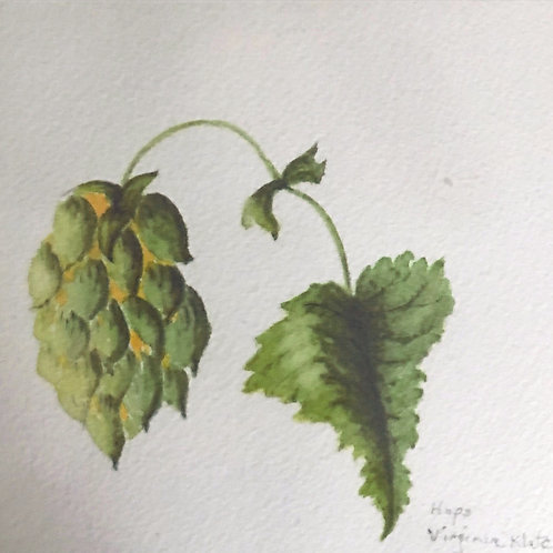 Hops, with Hop ready to harvest, and leaf