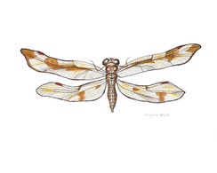 Amber Wing Dragonfly