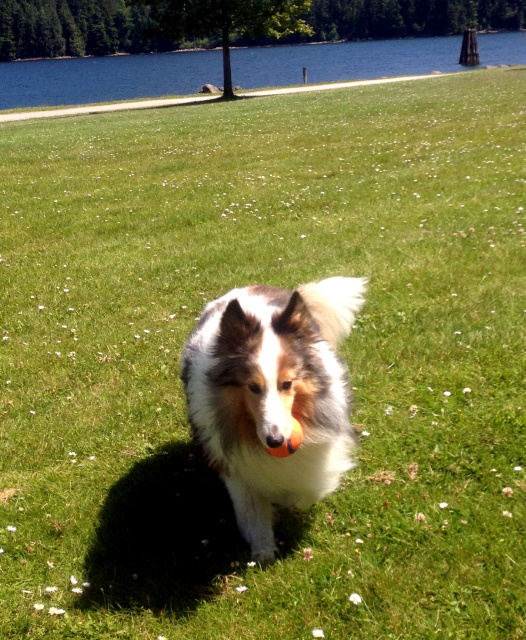 Sheltie Ball Retrieve