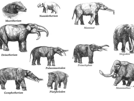 Looking at the natural history of the African elephant