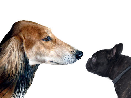 The Problem with Popular Breeds – a Brachycephalic pandemic