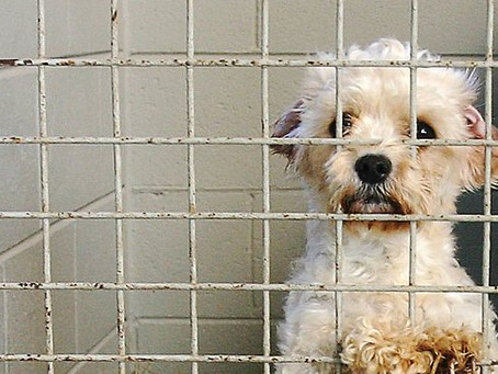 Prison too harsh for puppy farmers and dog abusers, says UK Animal Welfare Law…
