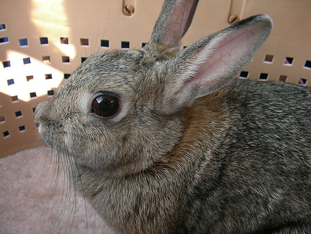 The Use of Rabbits in Society and associated welfare implications