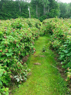 Red raspberries!