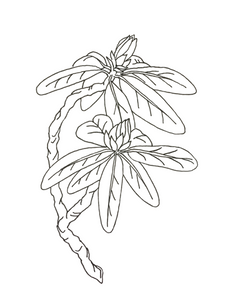 Rhody Logo Draft Ink, Digital Design 2019