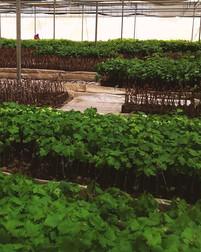VItacea-Brasil-desenvolvimento-do-viveir