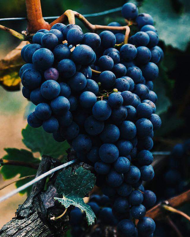 Pinot Noir - Vitacea Brasil