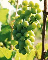 Vitacea-Brasil-Sauvignon-Blanc.jpg