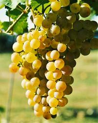 Vitacea-Brasil-Muscat-Petit-Grains.jpg