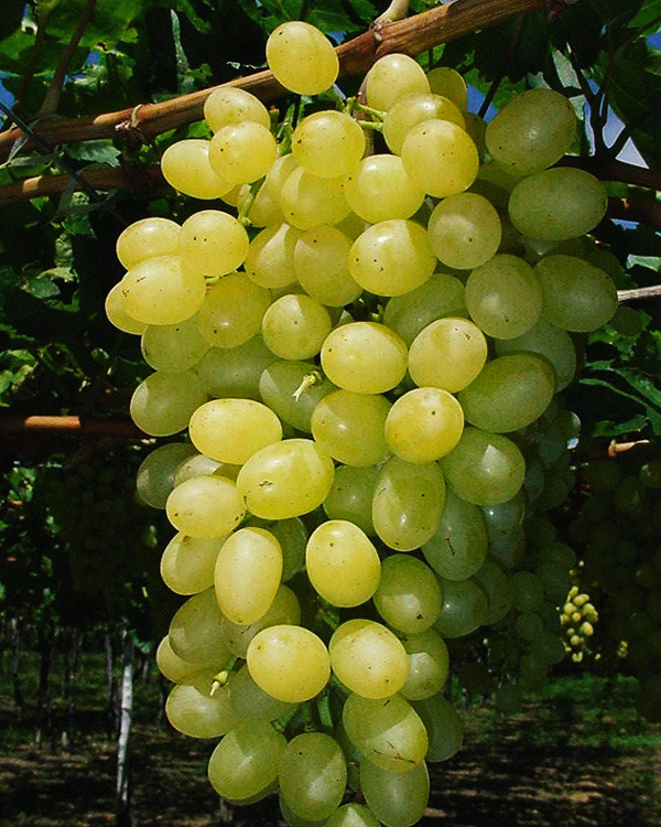 Thompson Seedless - Vitacea Brasil