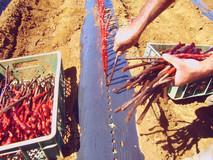 vitacea-brasil-videiras-plantio.jpg