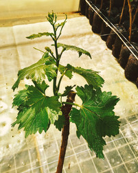 VItacea-Brasil-vigne-motte-pronto-2.jpg