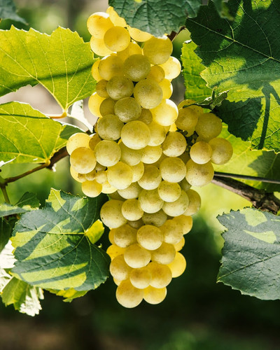 Chardonnay - Vitacea Brasil