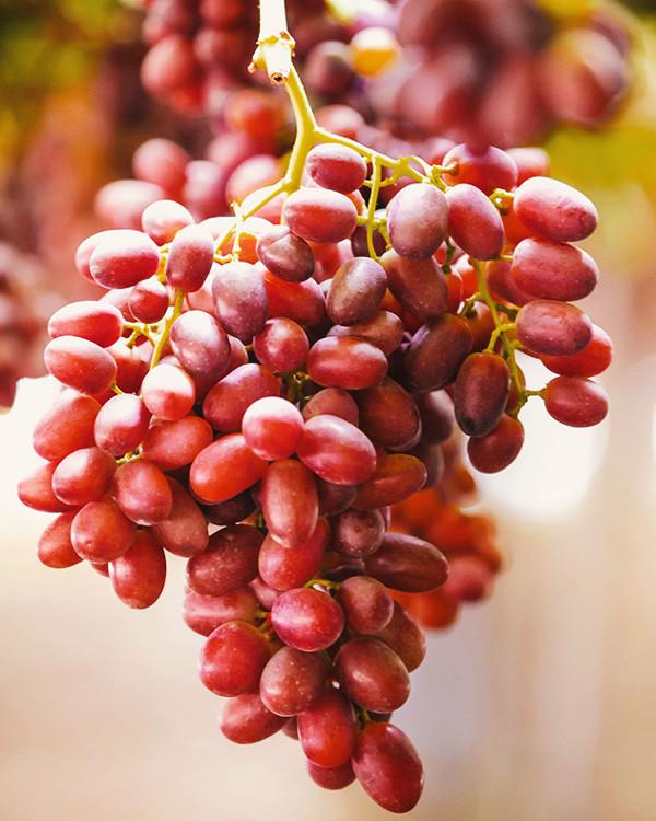 Crimson Seedless - Vitacea Brasil