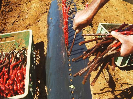 10.Plantio - Vitacea Brasil.jpg