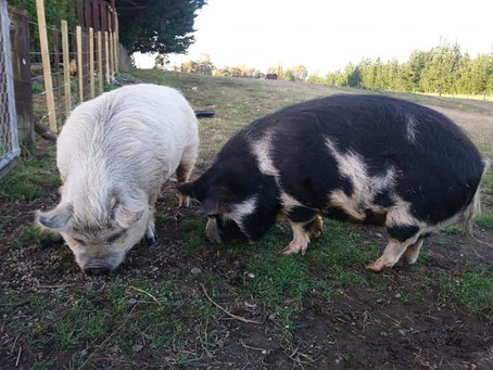 Re-homing pigs...in the year of the pig!!
