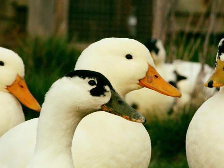 Pekin and Magpie Ducks