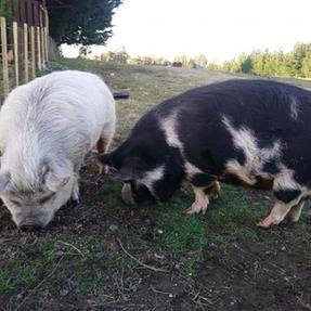 Babe and Porky