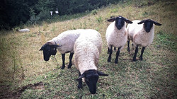 salatissimo - bike pecore