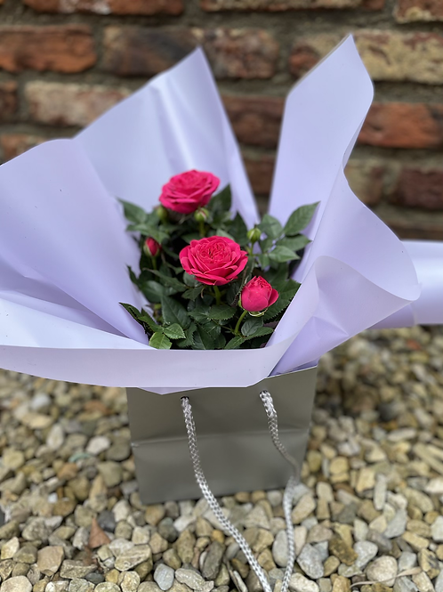 Rose plant in gift bag