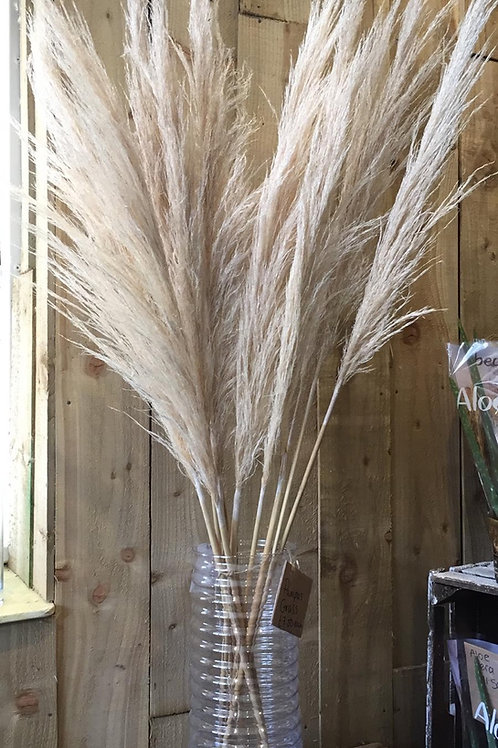 Pampas Grass Stem