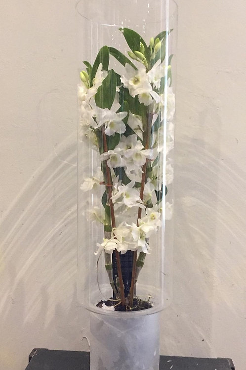 Dendrobium Orchid in Glass Vase