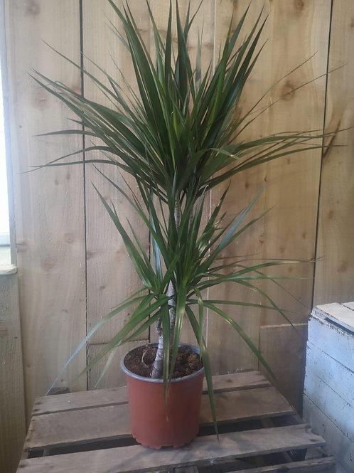 Draceana Plant