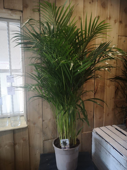 Palm Plant Chrysalisdocarpus Areca