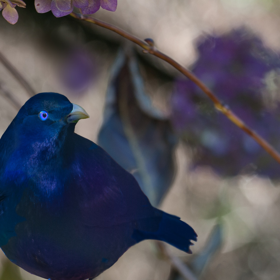 Bower Bird (handsome fella)