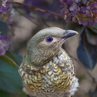 Bower Bird (Handsome Lady)